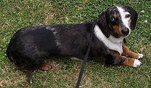 Black and tan double dapple smooth-haired miniature dachshund with one blue eye and one brown eye