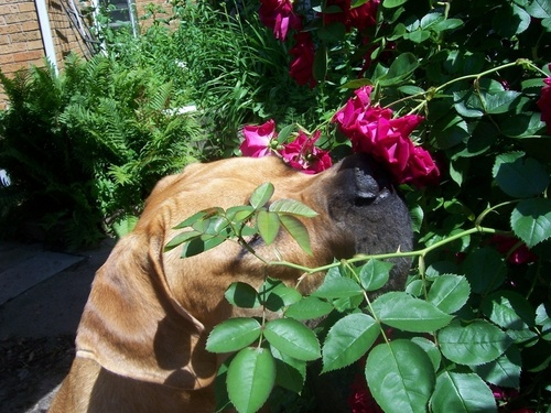 Dogs with Roses
