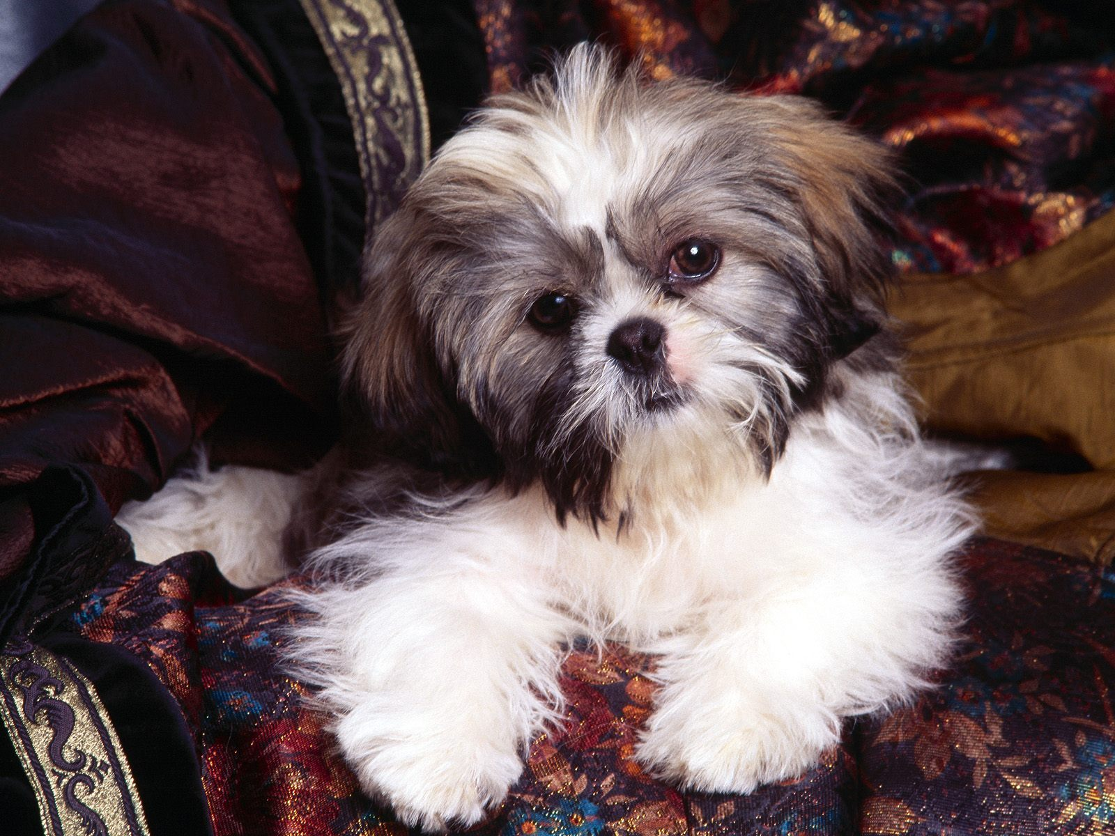 images of shih tzu dogs shih tzu puppies february 2015 8657