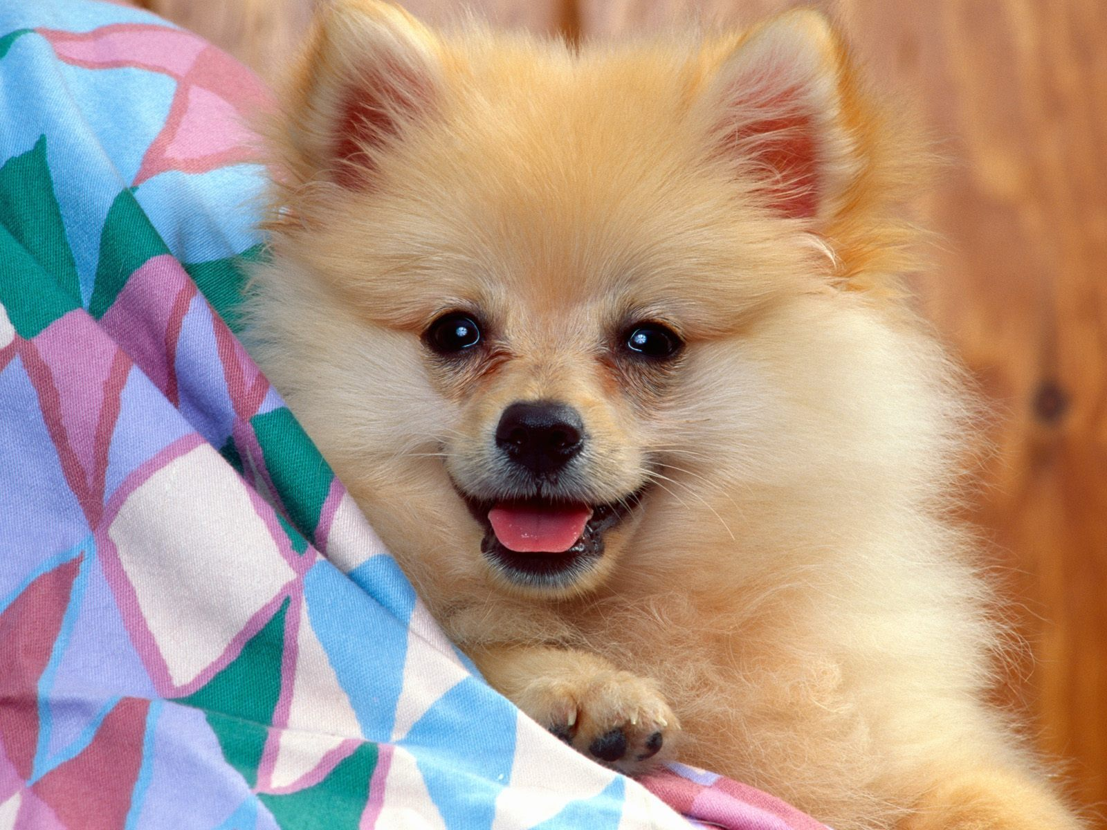 photos of pomeranian pomeranians images pomeranian hd wallpaper and background 2159