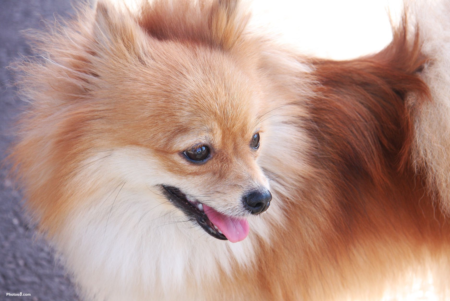 photos of pomeranian pomeranians images pomeranian hd wallpaper and background 5916