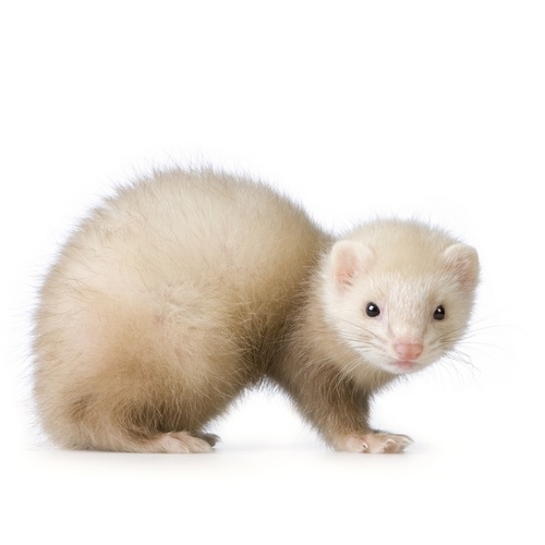 Adorable White tọc mạch, chồn, ferret