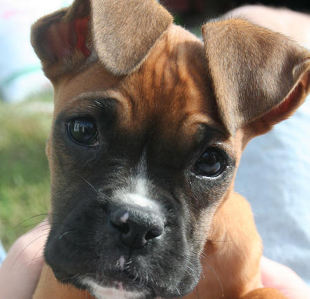 Image result for cute boxer