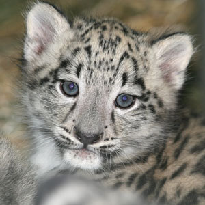 Puppy Of Snow Leopard