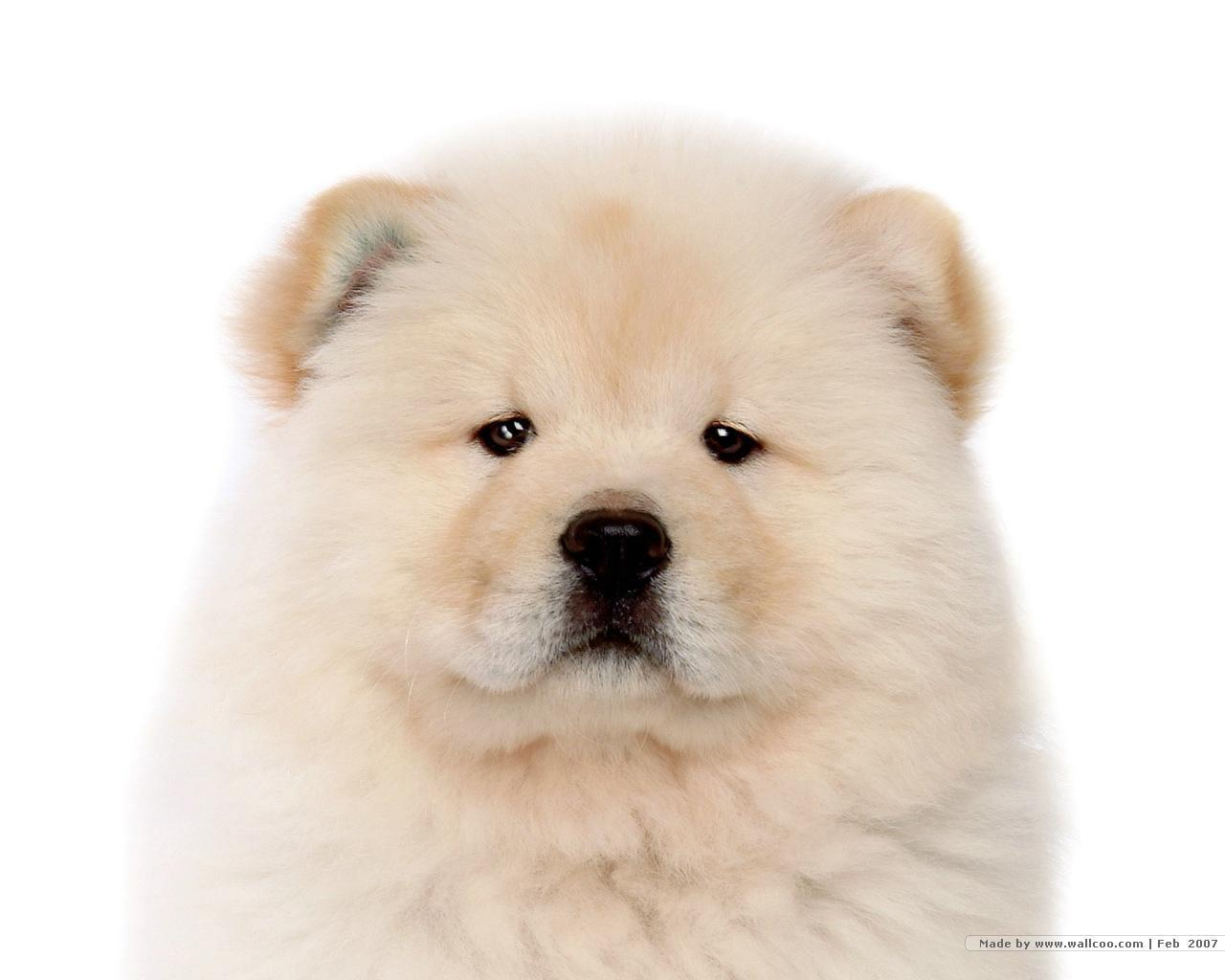Chow Chow Puppy Wallpaper