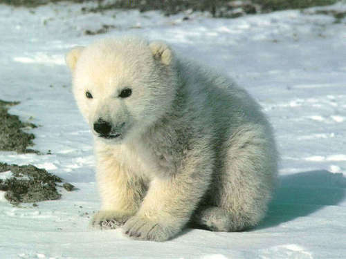 Baby orso