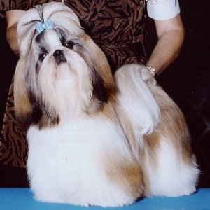 shih tzu temperament lively what is the temperament of the shih tzu breed allowing 2308