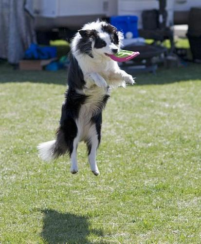 Border colley, collie at play