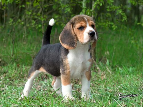 Here is a super cute beagle
