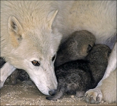 Mother And Pups