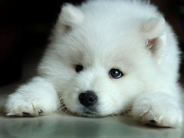 White Wolf Pup