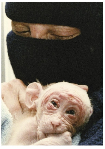Poor Baby Monkey Being Used In An Experiment