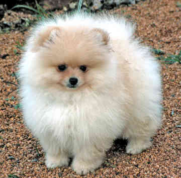 pomeranian chow do you like pomeranians or chow chows better poll 2816